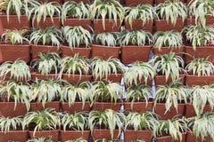 Row of Chlorophytum bichetii Royalty Free Stock Images