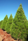 Row of Christmas pine trees at farm - vertical Stock Photo