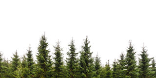 Row of Christmas pine trees isolated on white Royalty Free Stock Photos