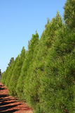 Row of Christmas pine trees - vertical Stock Photography