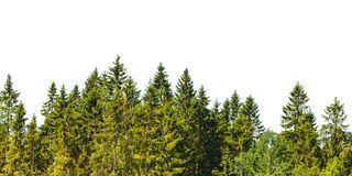 Row of Christmas pine trees  on white Royalty Free Stock Photography