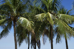 Row of Coconut Palm Trees Blue Sky Stock Photography