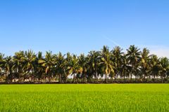 Row of coconut palm trees next to the paddy Royalty Free Stock Image