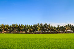 Row of coconut palm trees next to the paddy Royalty Free Stock Photography