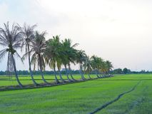 Row of coconut trees On the walk in the rice field at Thai countryside, Beautiful clouds and sunshine With the concept of rural li Stock Photography