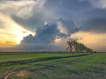 Row of coconut trees On the walk in the rice field at Thai countryside, Beautiful clouds and sunshine With the concept of rural li Stock Image