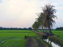 Row of coconut trees On the walk in the rice field at Thai countryside, Beautiful clouds and sunshine With the concept of rural li Royalty Free Stock Image