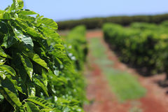 Row of Coffee Trees Stock Images