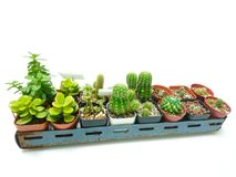 2 Row Collection of cactus white background royalty free stock image