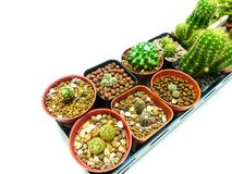 2 Row Collection of cactus white background royalty free stock images