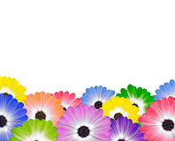 Row of Colorful Daisy Flowers on White Stock Image