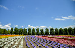 Row of colorful flower in Tomita farm. 3 Royalty Free Stock Photos
