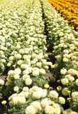 Row of colorful flowers with sunshine. 8 Stock Photography
