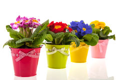 Colorful Primroses Stock Photo