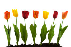A row with colorful silk tulips Royalty Free Stock Photography