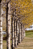 Row of colorful Spring trees. Row or line of colorful Spring trees receding into distance Royalty Free Stock Photography
