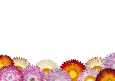 Row of Colorful Strawflowers on White Background Stock Photo