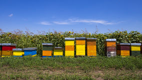 Row of colorful wooden beehives with sunflowers in the background. With blue sky royalty free stock photo