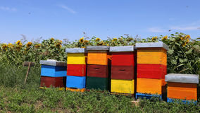 Row of colorful wooden beehives with sunflowers in the background Stock Photo