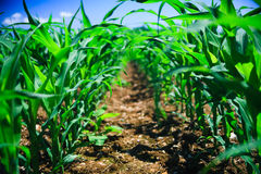 Row of corn Stock Images