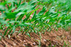 Row of corn Royalty Free Stock Images