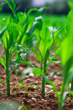 Row of corn Stock Photography