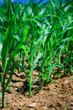 Row of corn Royalty Free Stock Photography