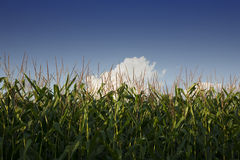 Row of Corn Royalty Free Stock Image