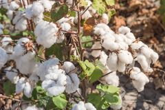 Row of cotton fields ready for harvesting in South Texas, USA. Close-up cotton bud stem on fields ready for harvesting in Corpus Christi, Texas, USA. Agriculture royalty free stock photos