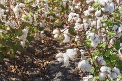 Row of cotton fields ready for harvesting in South Texas, USA. Close-up cotton bud stem on fields ready for harvesting in Corpus Christi, Texas, USA. Agriculture stock photography