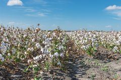 Row of cotton fields ready for harvesting in South Texas, USA. Cotton fields ready for harvesting under cloud blue sky in Corpus Christi, Texas, USA. Agriculture stock photos