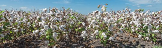 Row of cotton fields ready for harvesting in South Texas, USA. Panorama view cotton fields ready for harvesting under cloud blue sky in Corpus Christi, Texas stock images