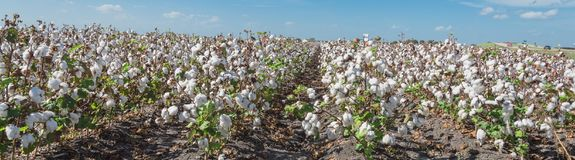 Row of cotton fields ready for harvesting in South Texas, USA. Panorama view cotton fields ready for harvesting under cloud blue sky in Corpus Christi, Texas stock photo