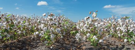 Row of cotton fields ready for harvesting in South Texas, USA. Panorama view cotton fields ready for harvesting under cloud blue sky in Corpus Christi, Texas royalty free stock photos