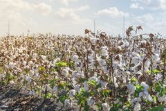 Row of cotton fields ready for harvesting in South Texas, USA. Cotton fields ready for harvesting under cloud blue sky in Corpus Christi, Texas, USA. Agriculture stock images