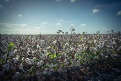 Row of cotton fields ready for harvesting in South Texas, USA. Vintage tone cotton fields ready for harvesting under cloud blue sky in Corpus Christi, Texas, USA stock images