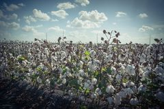 Row of cotton fields ready for harvesting in South Texas, USA. Vintage tone cotton fields ready for harvesting under cloud blue sky in Corpus Christi, Texas, USA royalty free stock image