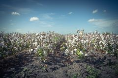 Row of cotton fields ready for harvesting in South Texas, USA. Vintage tone cotton fields ready for harvesting under cloud blue sky in Corpus Christi, Texas, USA stock photography