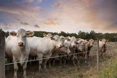 Row of cows Stock Photos