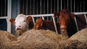 Row Of Cows Eating Hay stock video footage