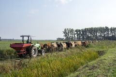 Row of cows going to be milked, tractor drives behind cows walking. stock image