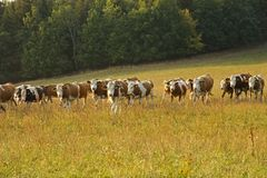 Row of cows grazing in a field Royalty Free Stock Photos