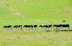 Row of cows, New Zealand. Row of cows in New Zealand Royalty Free Stock Photo