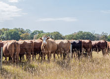 A row of cows with their rumps facing camera except one cow in the middle. Royalty Free Stock Images