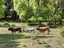 Row of cows. Two adult cows and a calf walk along the nearby meadows to the area of El Escorial. Madrid. Spain Stock Photography