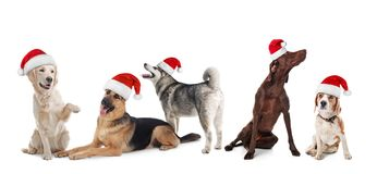 Row of cute dogs with Santa Claus hats. On white background. Christmas concept royalty free stock image