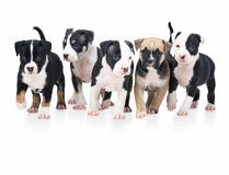 Row of cute little puppies playing on white royalty free stock photo