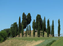 A row of Cypress trees Royalty Free Stock Photo