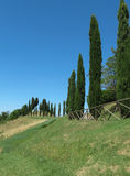 A row of Cypress trees Royalty Free Stock Images