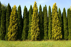 Row of cypresses. Front view of row of green and yellow cypresses standing next to field royalty free stock photos